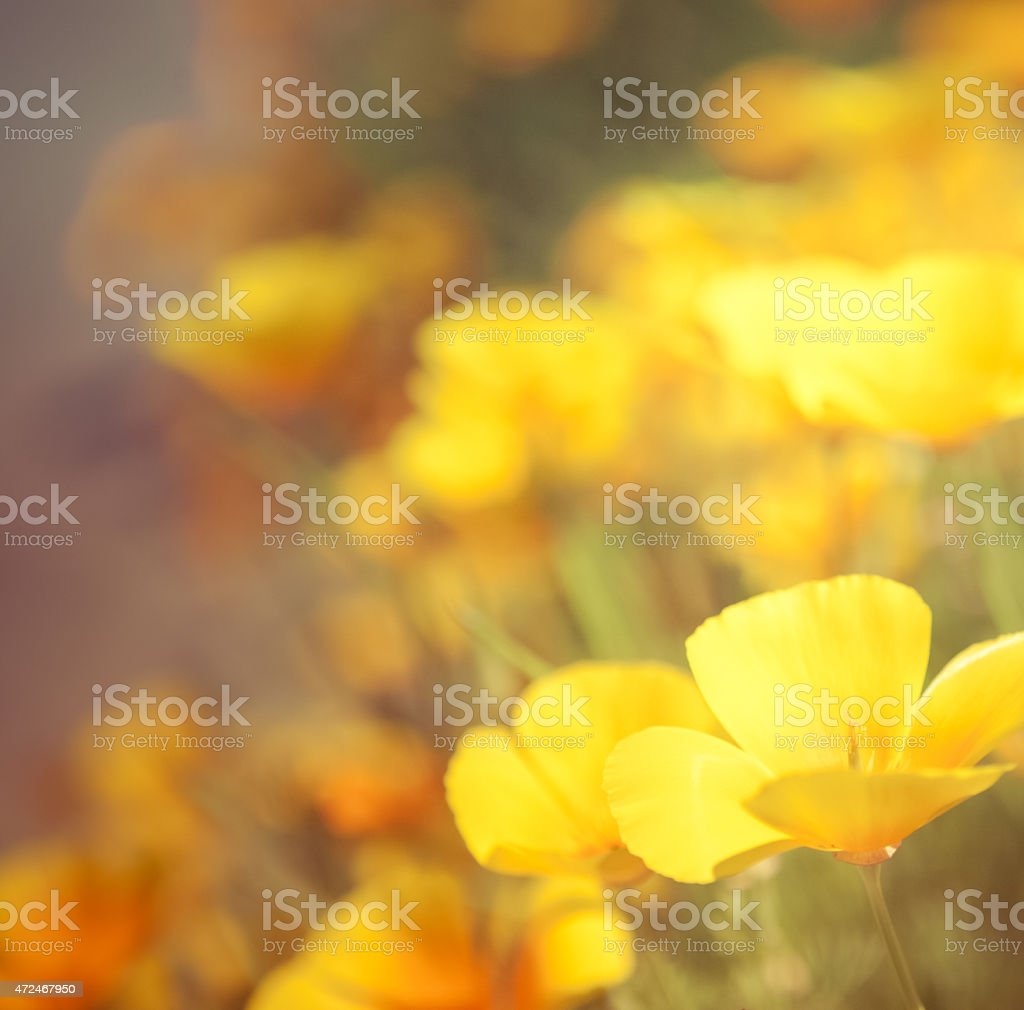 Nature flower background - Pretty poppies orange & yellow stock photo