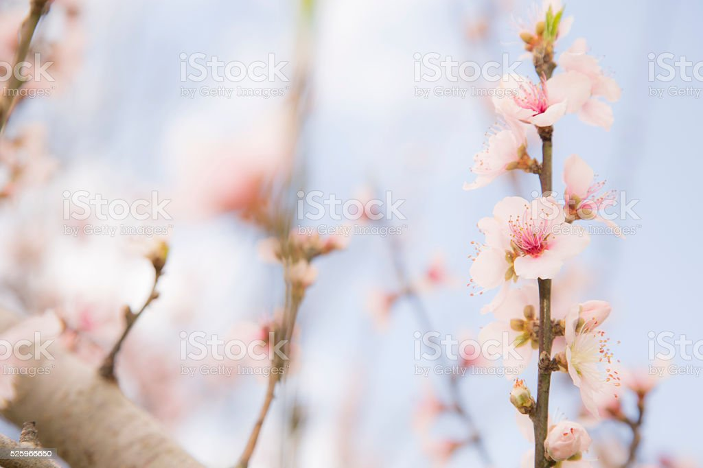 Nature, Flowers:  Peach tree blossoms in Spring season. stock photo
