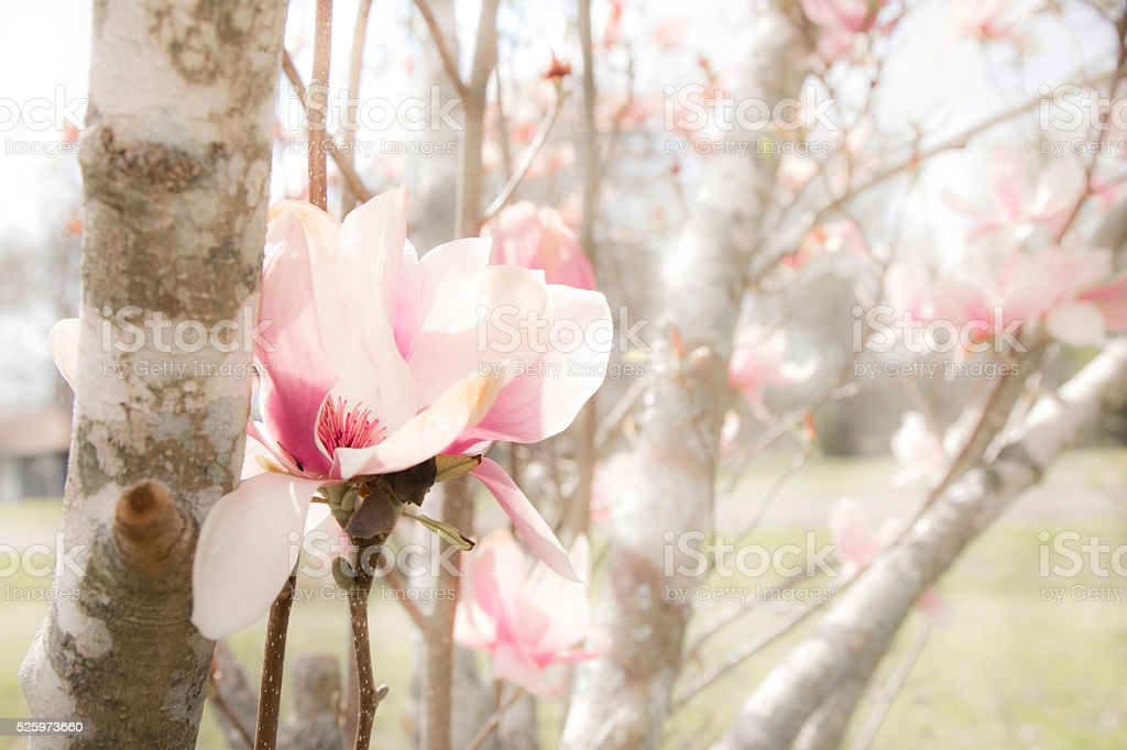 Nature, Flowers: Pink tulip, Japanese magnolia tree blooming in spring. stock photo