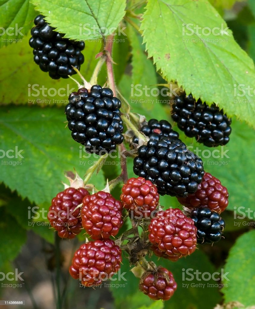 Nature food - Blackberries royalty-free stock photo