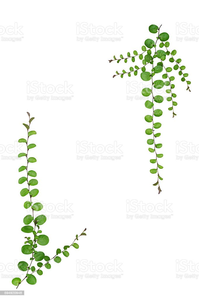 Nature frame of small creeper plant isolated on white background stock photo