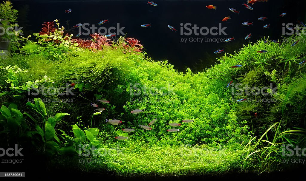 Nature freshwater aquarium in Amano style with little characins stock photo