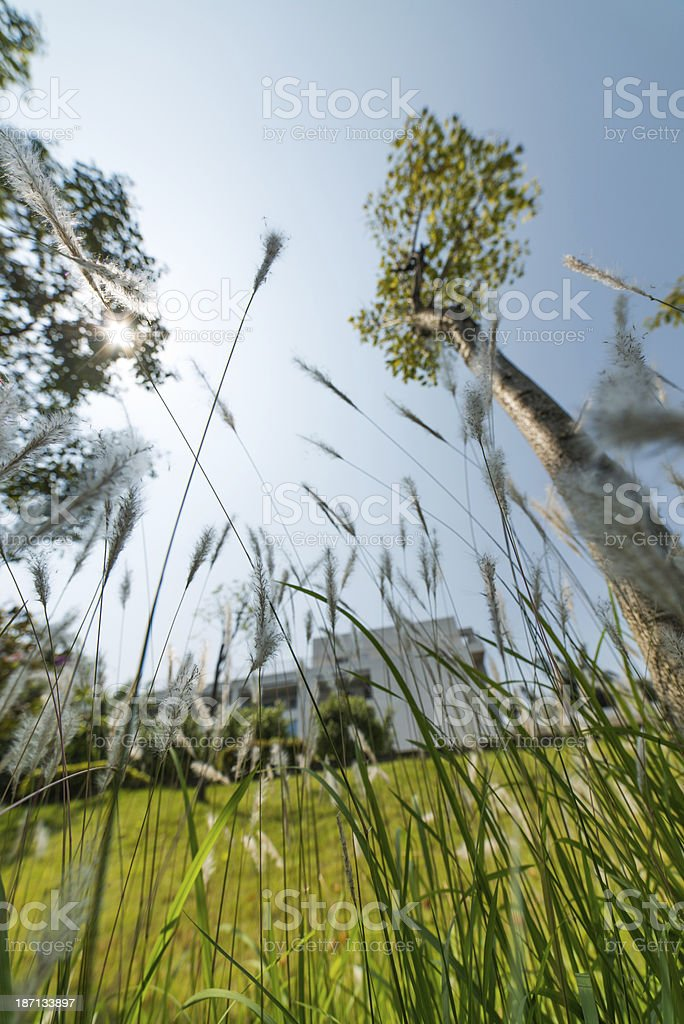 nature grass reeds royalty-free stock photo
