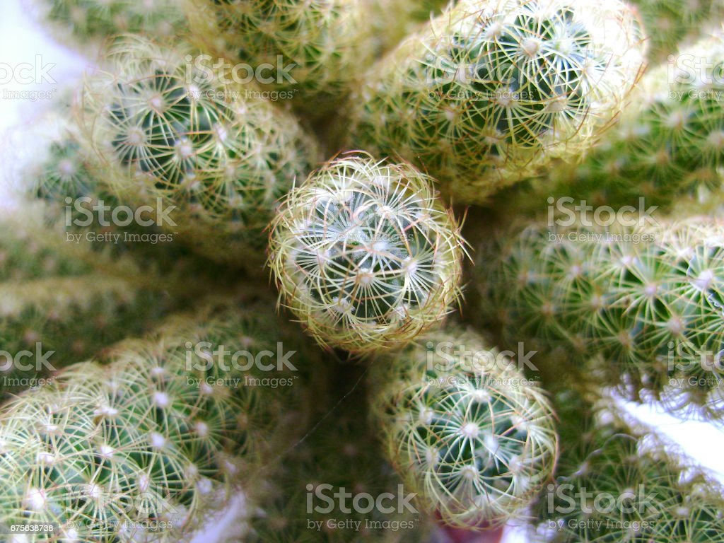 Nature green background, cactus tree. Close-up cactus, cacti, cactuses or cactus. stock photo