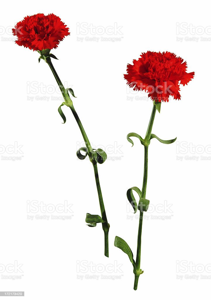 nature: isolated red carnation 3 stock photo