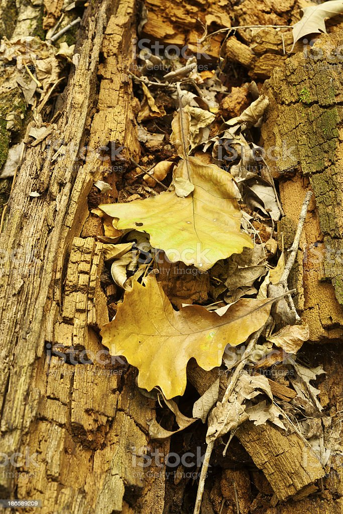 Nature: Leaves on Decaying Log royalty-free stock photo