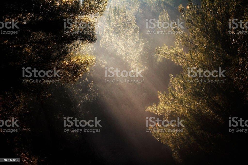 Nature Light Pine tree stock photo