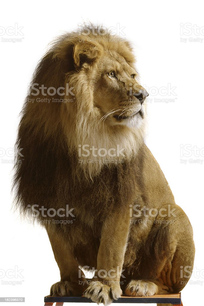Nature: Lion Isolated on White Background stock photo