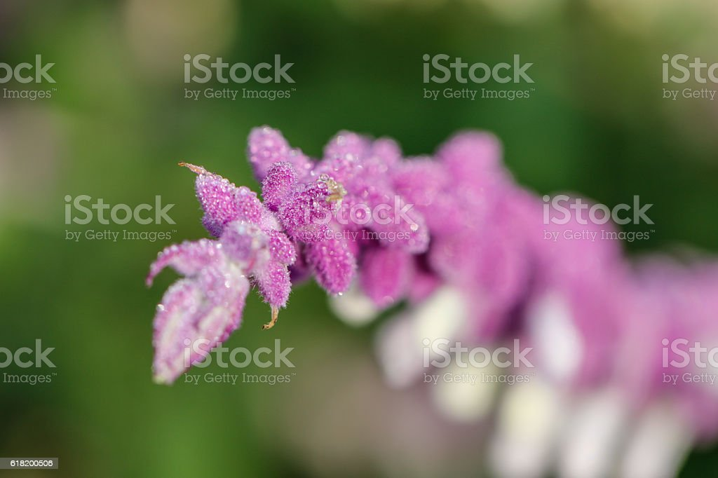 Nature: Pink Mexican Brush Sage stock photo