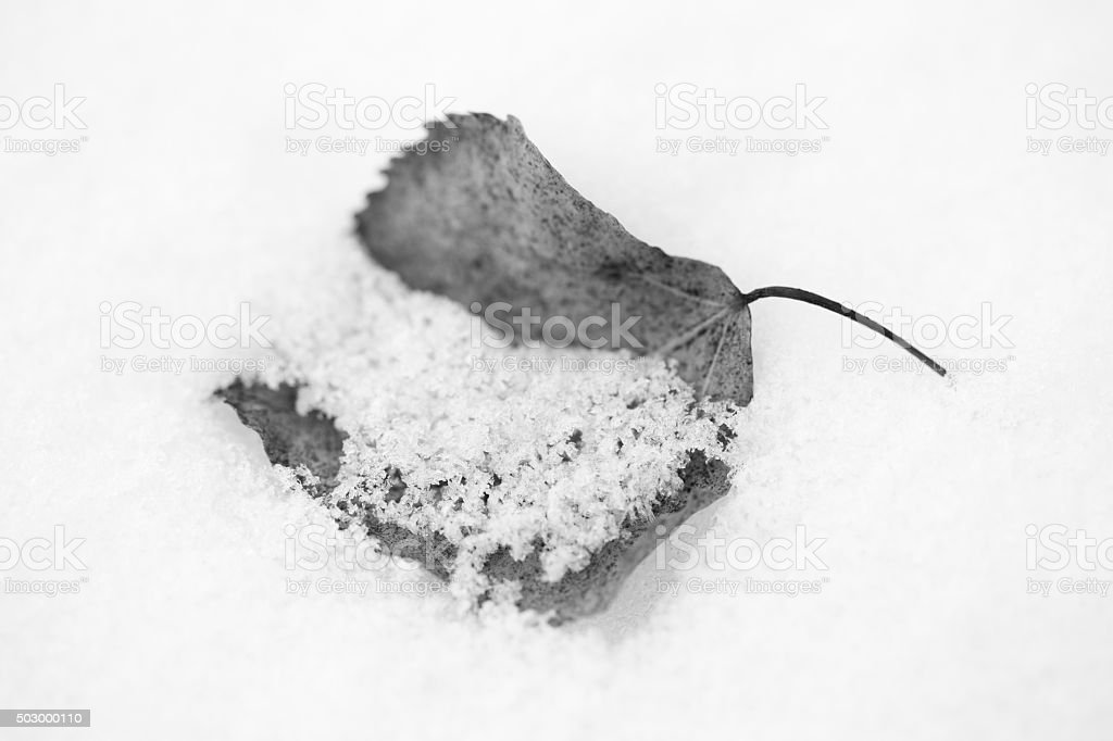 Nature Simplicity - Poplar Leaf in Snow stock photo