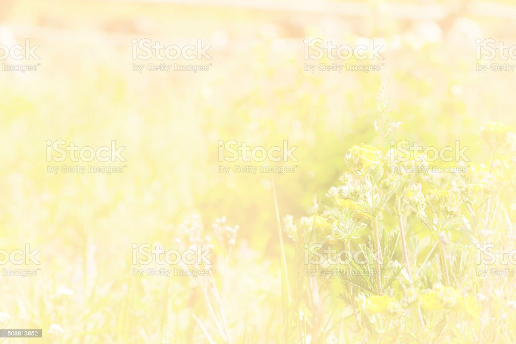 Nature. Soft yellow flowers growing in meadow. Wooden fence. stock photo