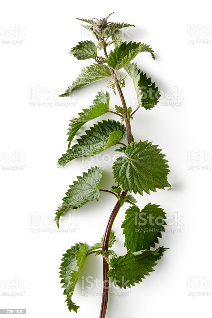 Nature: Stinging Nettle Isolated on White Background stock photo