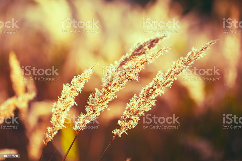 Nature Toned Grass Background Of Dry Grass stock photo