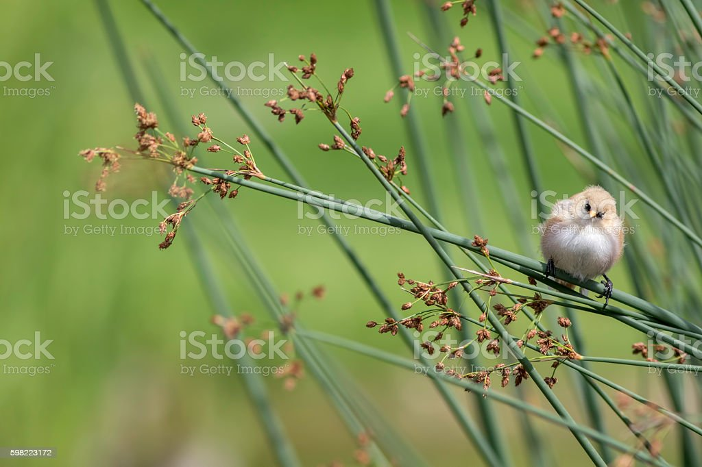 Nature trail - Bearded Reedling stock photo
