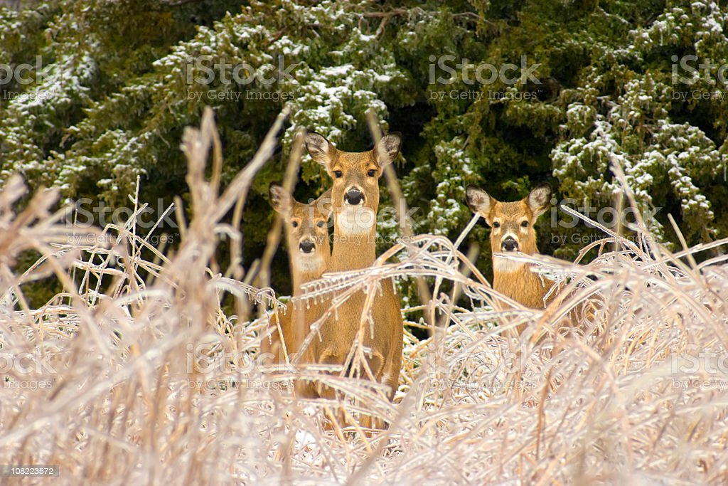 Nature's Beauty asThree Deer Survive Severe Kansas Ice Storm royalty-free stock photo