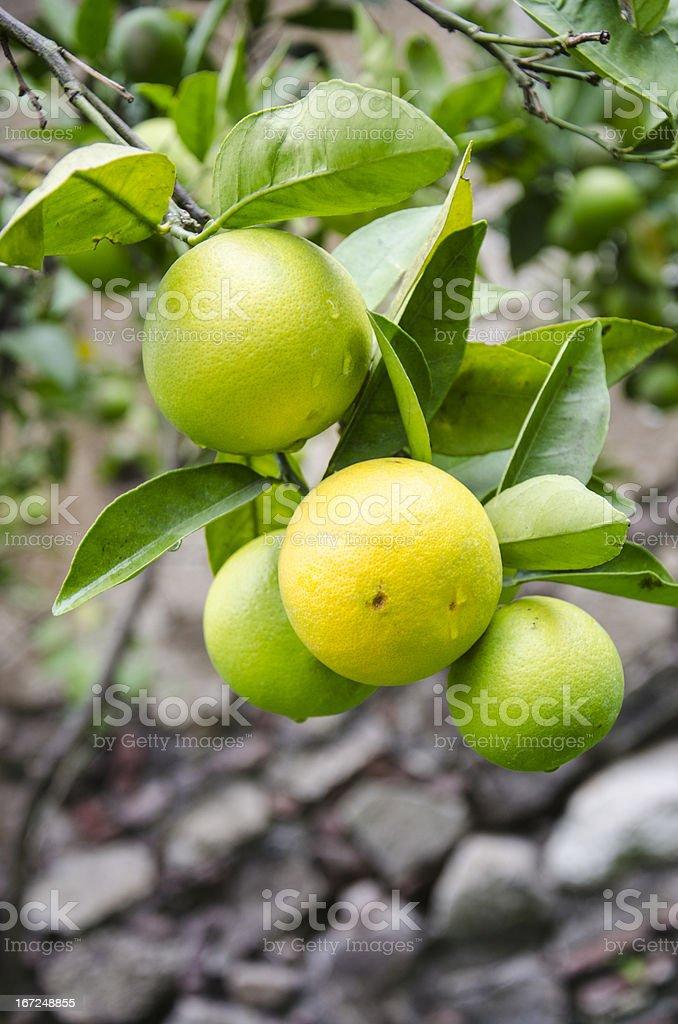 Nature's garden - orange fruits royalty-free stock photo