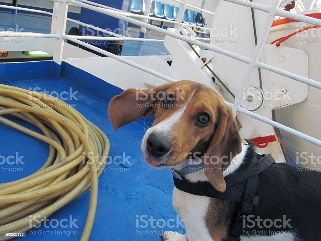 Naughtical Beagle stock photo