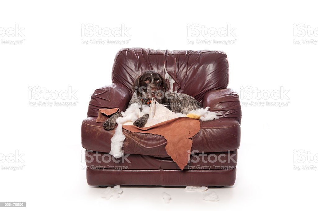 Naughty German Wirehaired Pointer Sits on a Chewed Up Chair stock photo