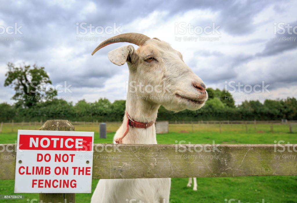 Naughty Goat climbing on the fence next to a no climbing sign stock photo
