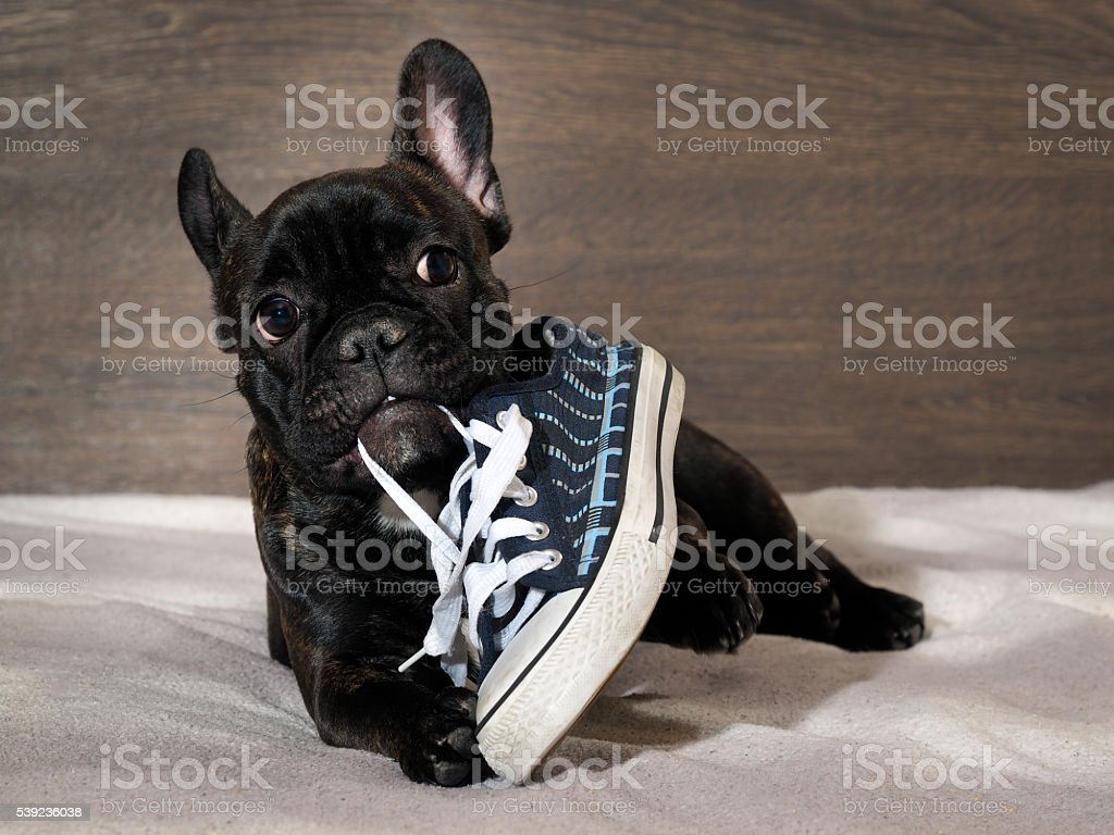 Naughty Puppy chewing shoes - sports shoes stock photo