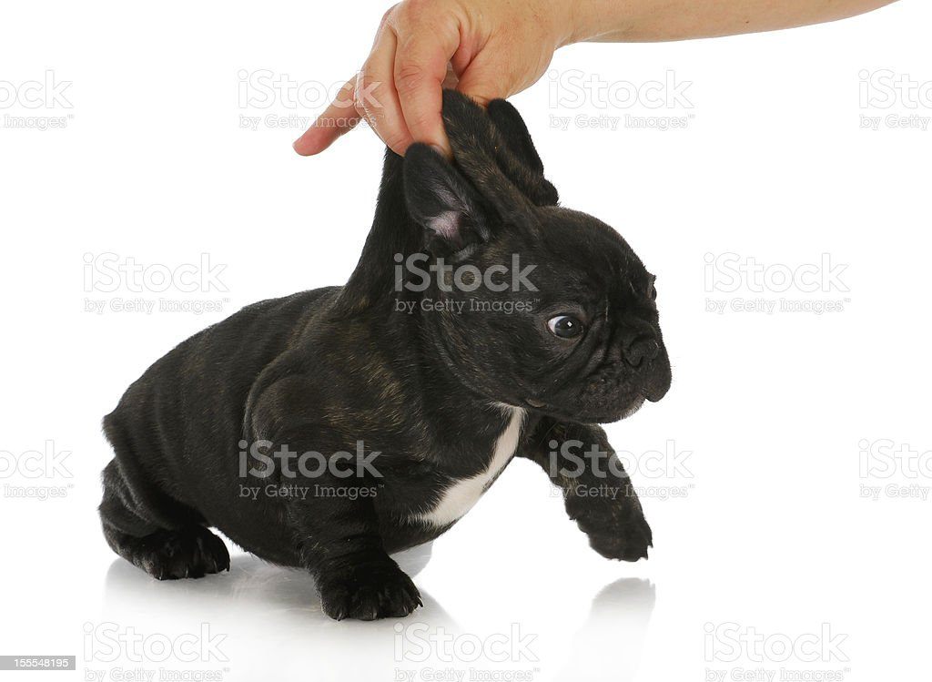 naughty puppy royalty-free stock photo
