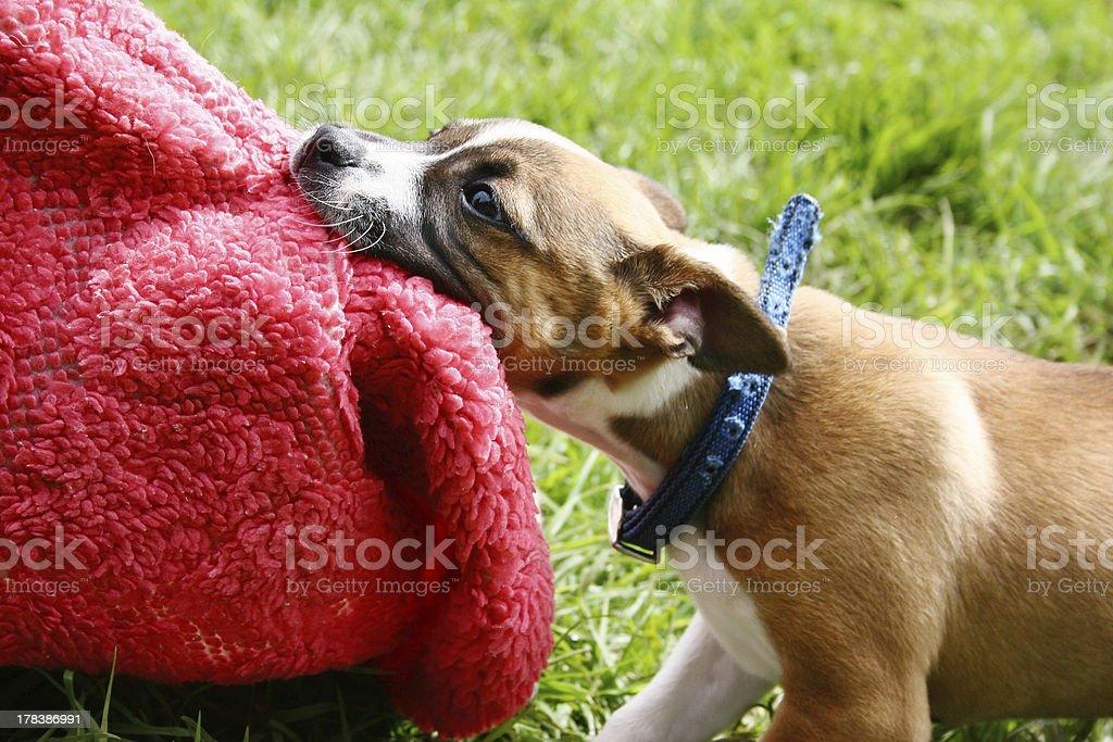 Naughty puppy! stock photo