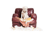 Naughty White Labrador Dog Sitting in a Chewed Up Chair