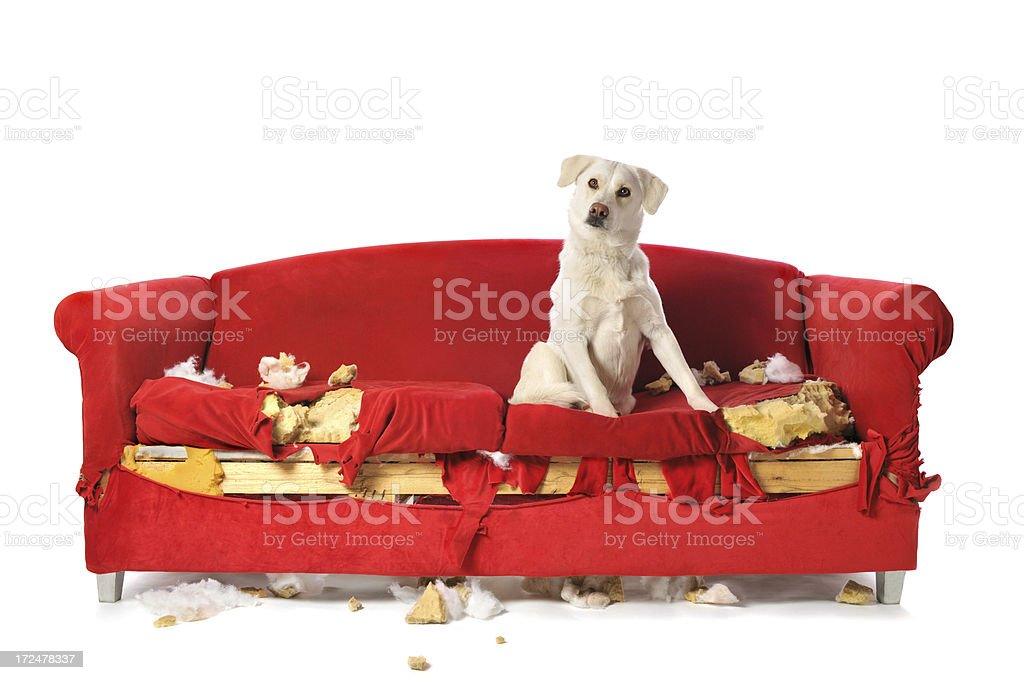 Naughty White Labrador Dog Sitting on a Chewed Up Couch stock photo