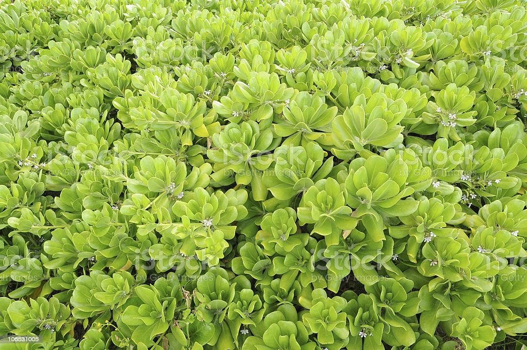 Naupaka Plant stock photo