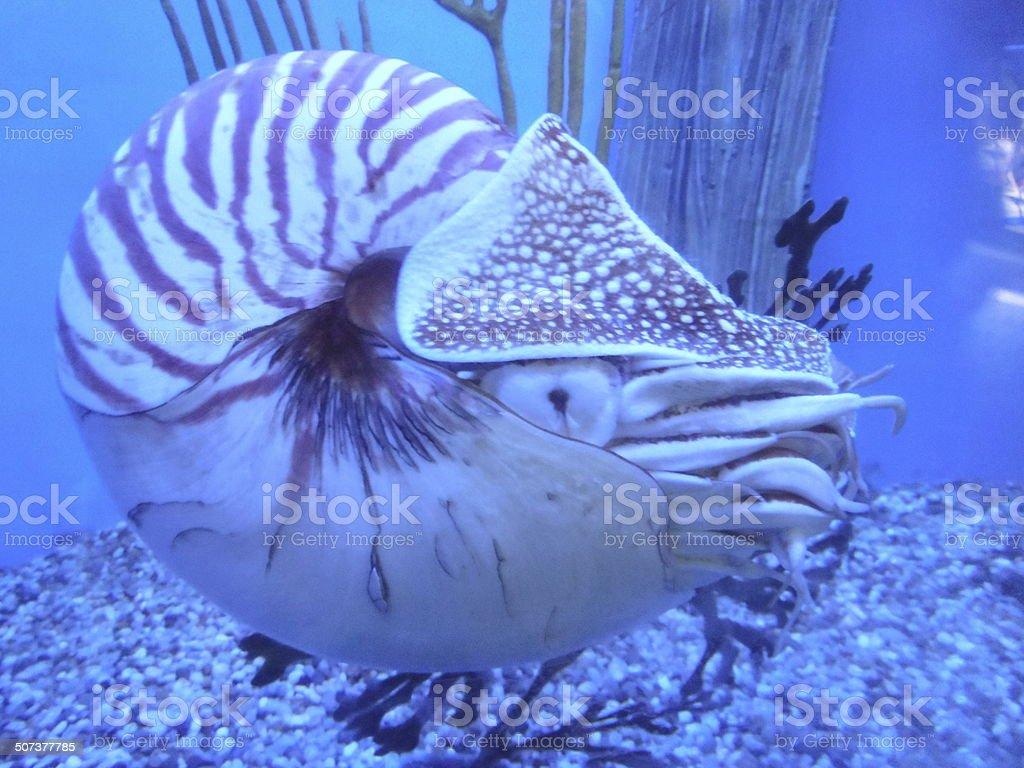 Nautilus (Cephalopod mollusc) stock photo