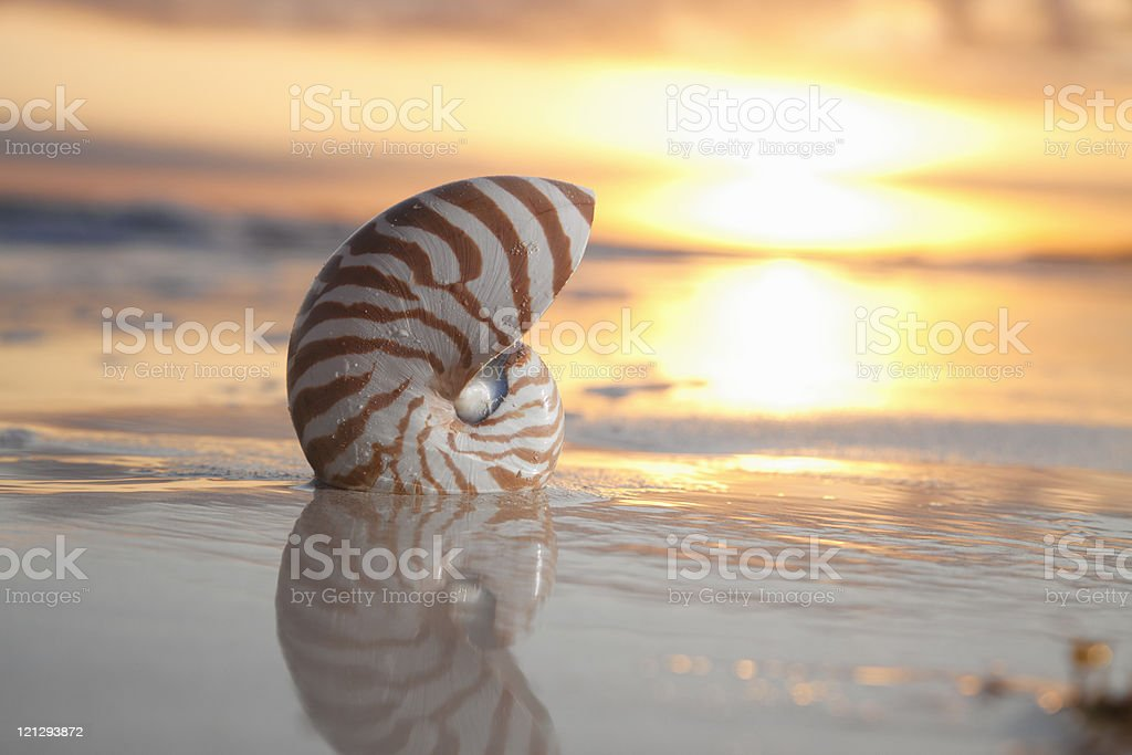 nautilus shell in the sea , sunrise, warm light royalty-free stock photo