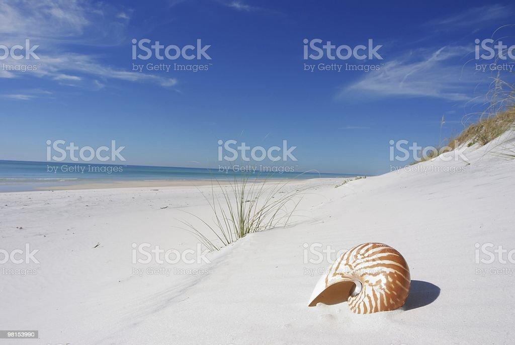 Nautilus Shell on the Florida Coastline stock photo