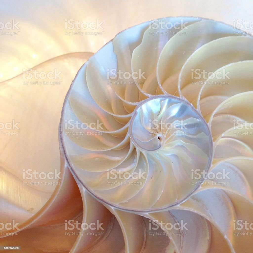 nautilus shell symmetry cross section spiral structure growth stock photo