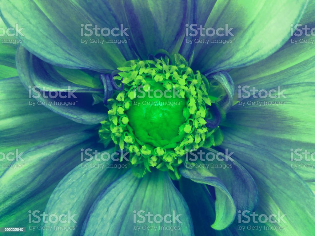 'nblue-turquoise  flower dahlia . Macro. green pistils, stamens. green Center. for design. Nature. 'n stock photo