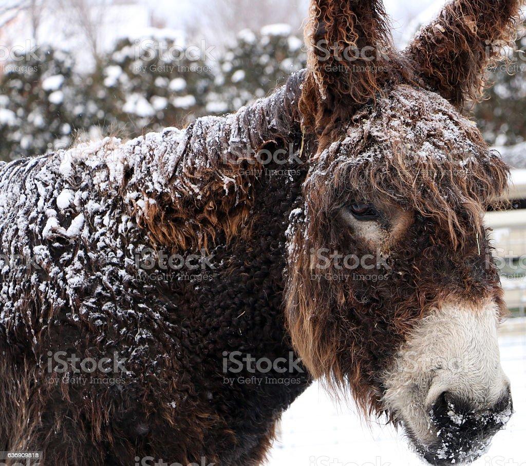 Âne en hiver stock photo