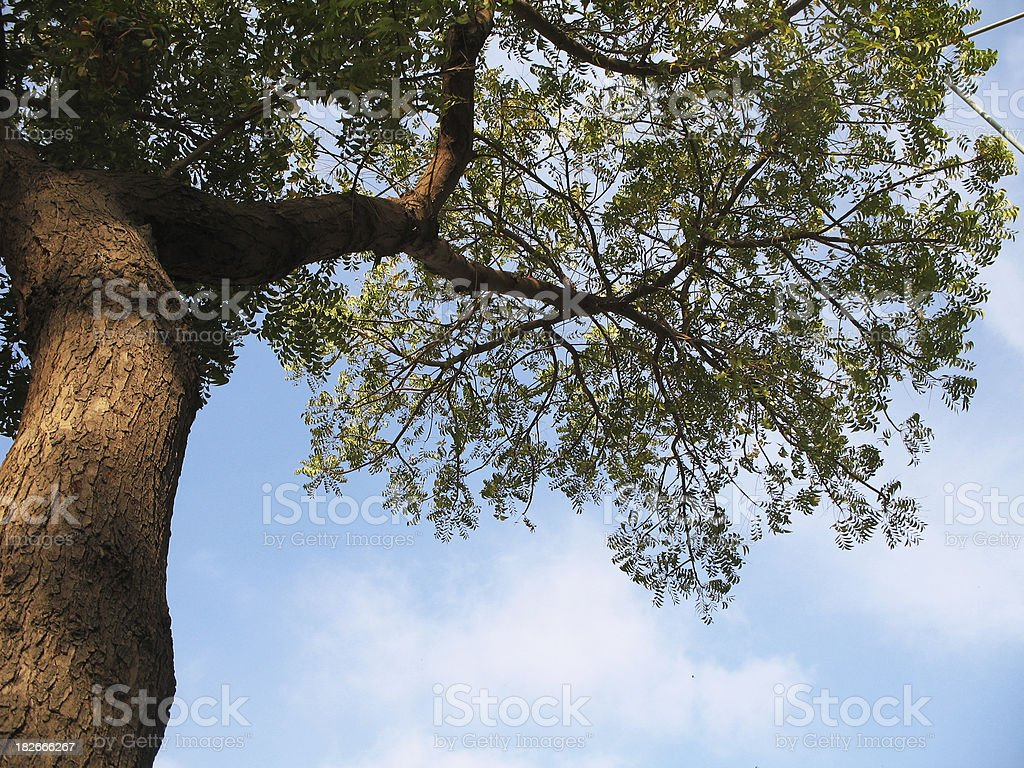 Neam tree stock photo
