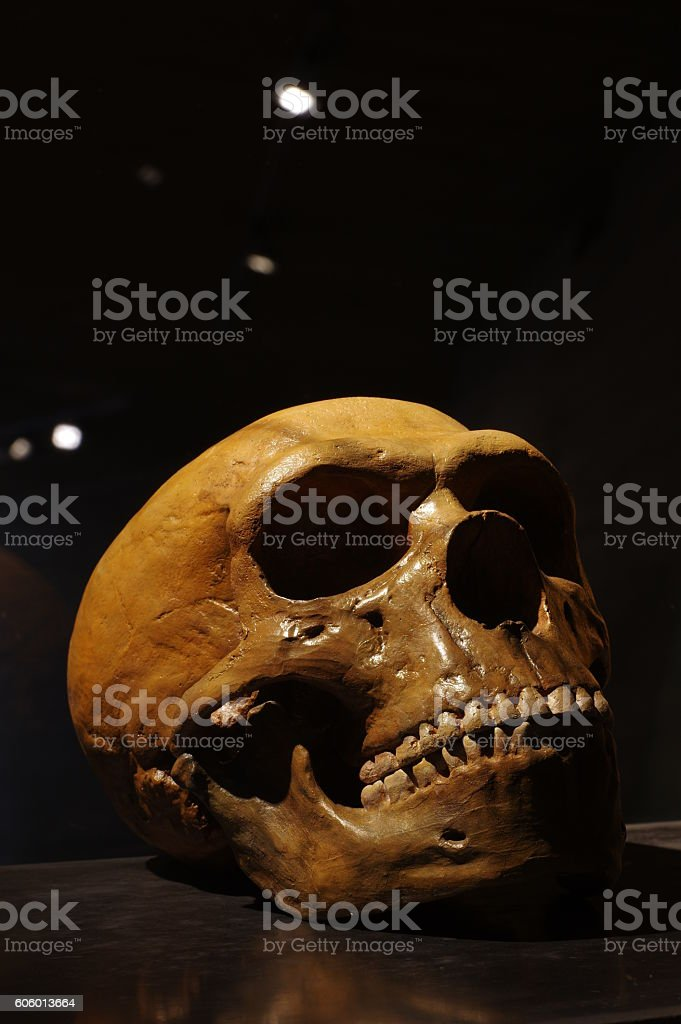 Neanderthal skull archeology stock photo