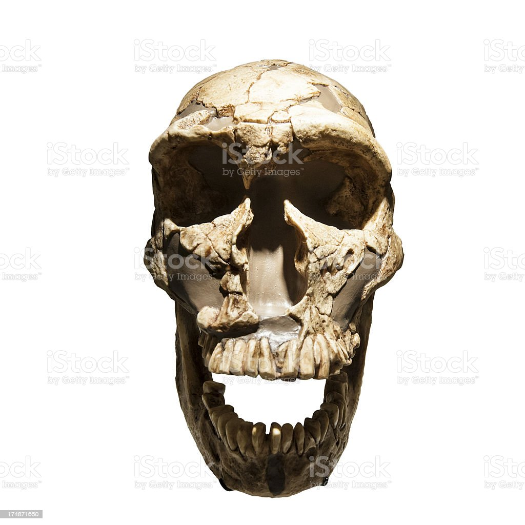 Neanderthal Skull Fossil royalty-free stock photo