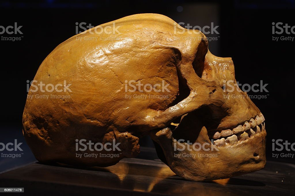 Neanderthal skull stock photo