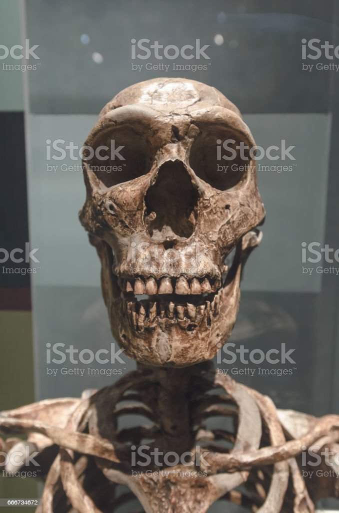 Neanderthal Skull stock photo