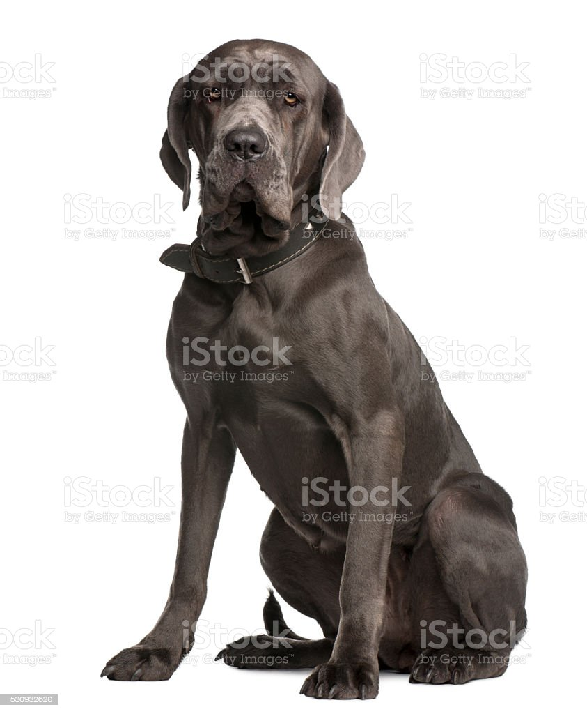 Neapolitan Mastiff, 3 years old, sitting stock photo