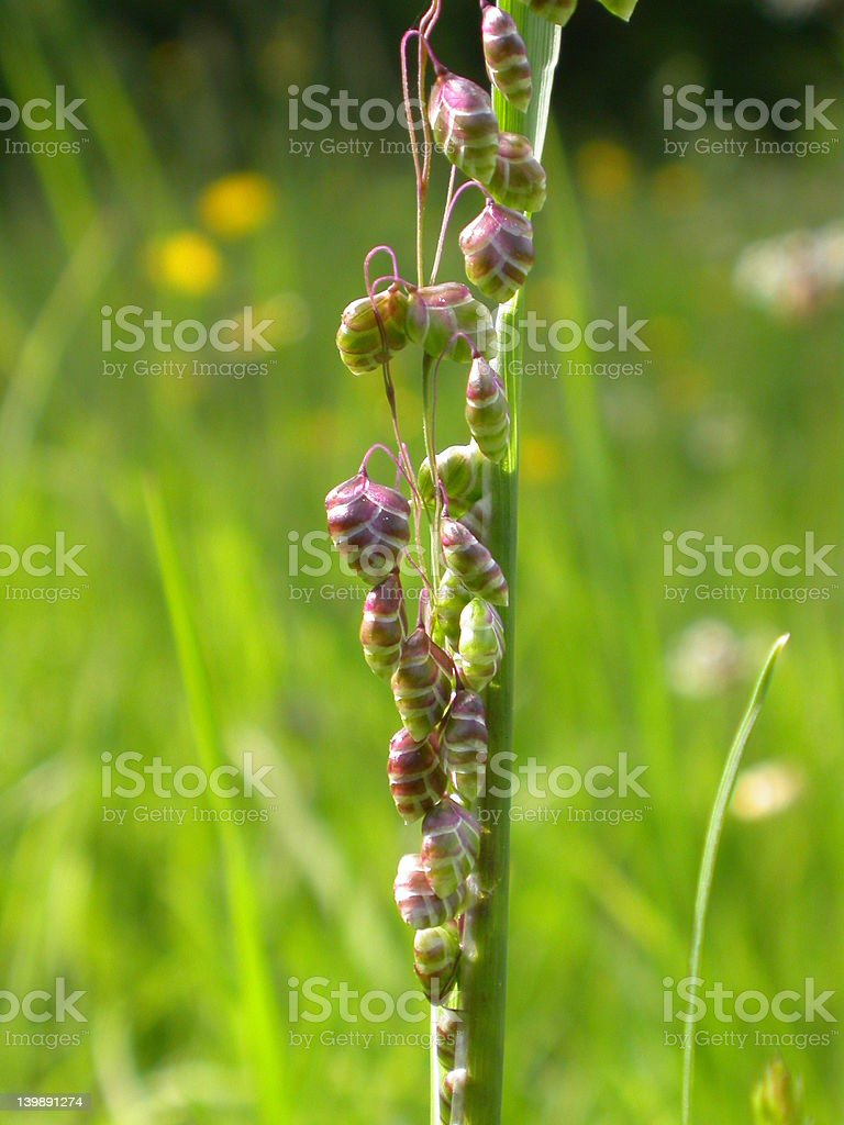 Nearly open quaking grass flowers royalty-free stock photo