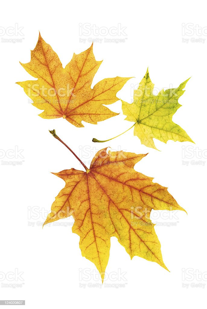 Neat colorful autumn leaves royalty-free stock photo