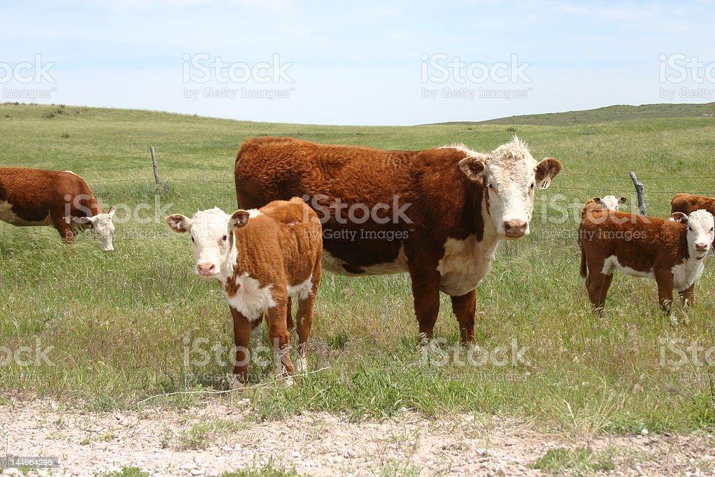 Nebraska cows royalty-free stock photo