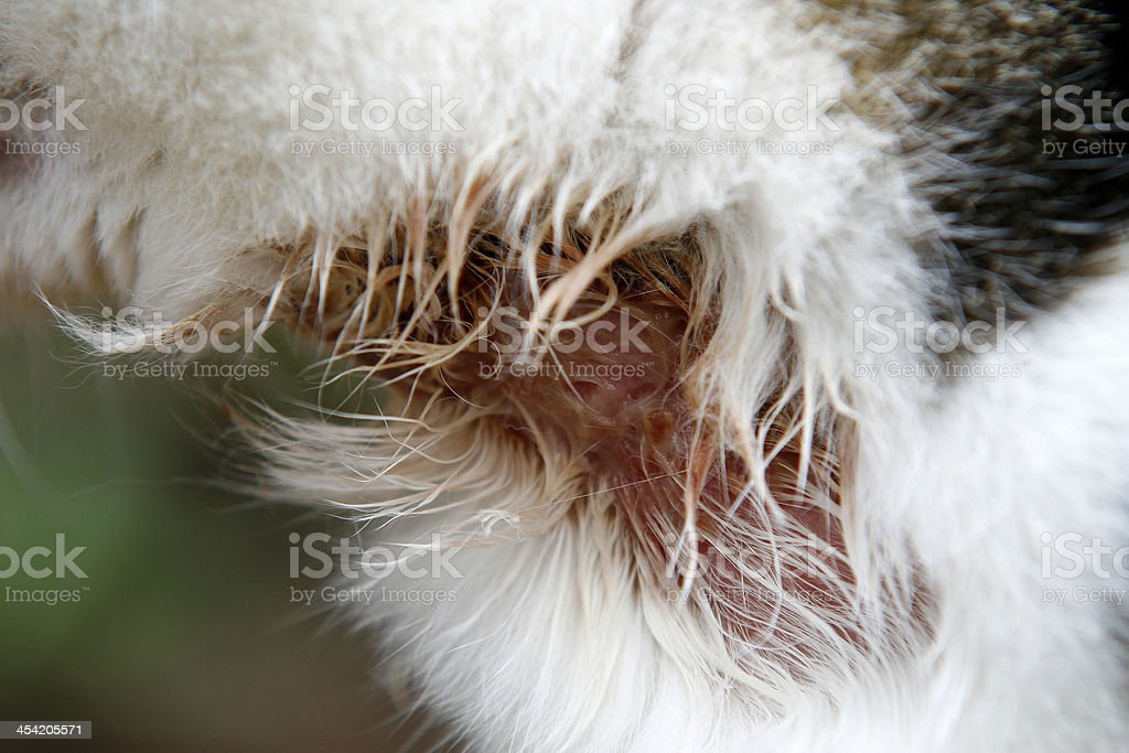 Halswunde bei Katze stock photo