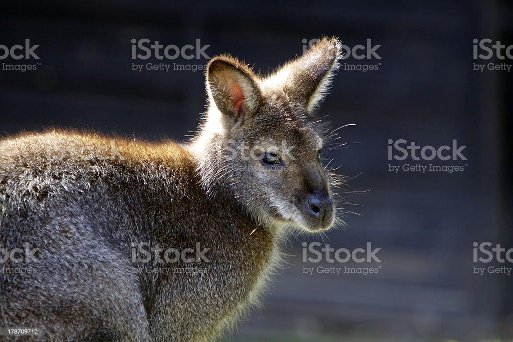 Necked Wallaby royalty-free stock photo