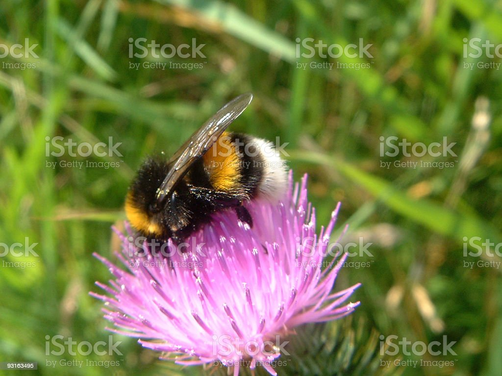 Nectar Junkie royalty-free stock photo