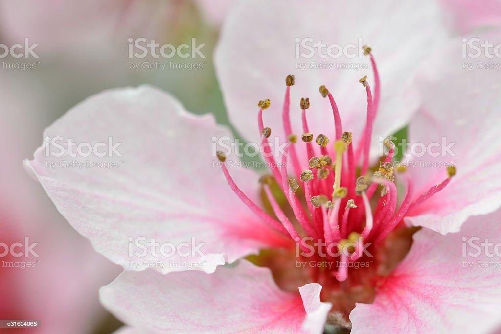 Nectarine flower stock photo