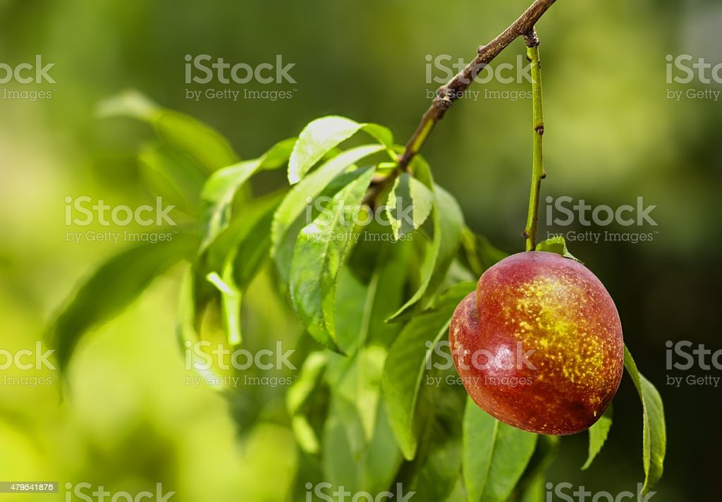 Nectarine Fruit Hanging From A Tree stock photo