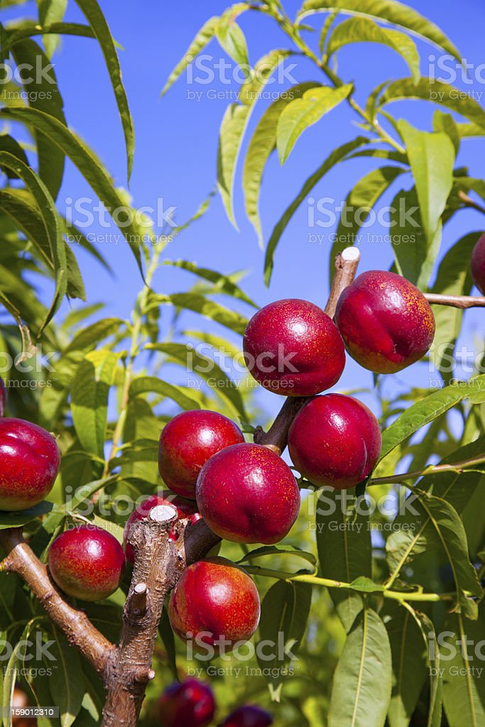 nectarine fruits on a tree with red color royalty-free stock photo